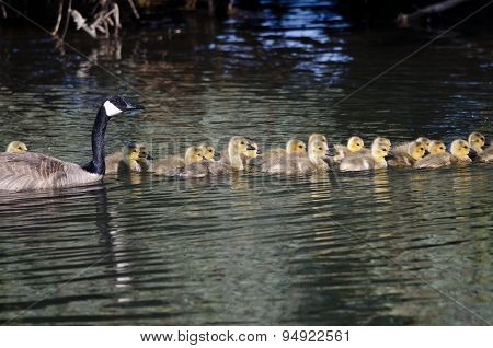 Adorable Little Goslings Swimming With Mom