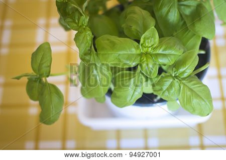 Basil Herb Seasoning Pot Plant