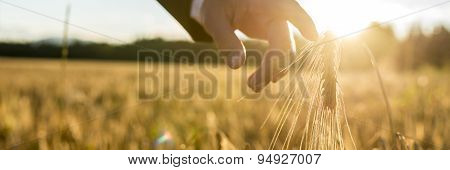 Businessman Or Environmentalist Reaching Down With His Finger Gently Touching An Ear Of Ripening Gol