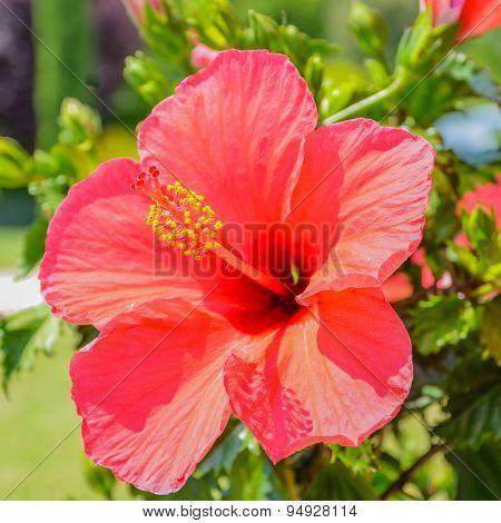 Macro Red Hibiscus Flower