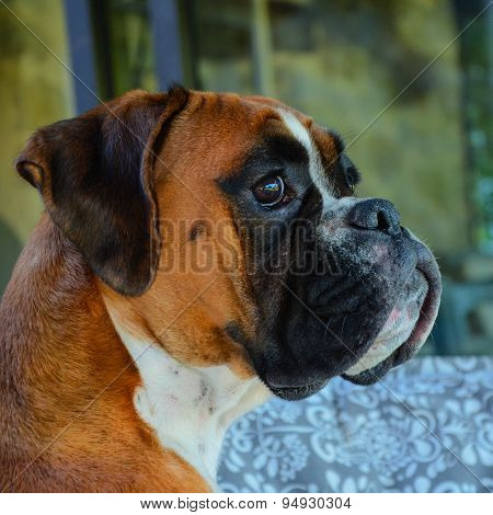 Boxer Dog Fawn Female Contemplative Garden