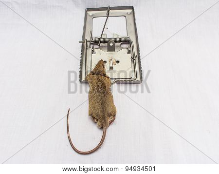 Rat And  Trap