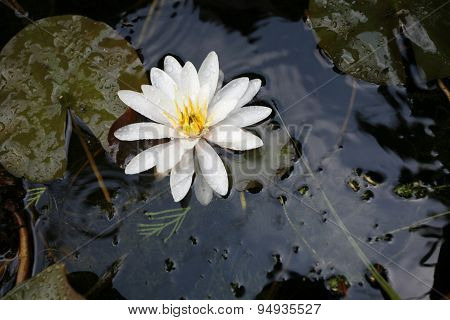 Blooming White Colored Water Lilies In A Small Pond