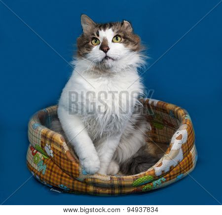 White And Fluffy Tabby Cat Sitting In Motley Couch On Blue