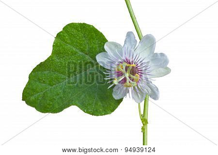 Flower From Thailand On White Background