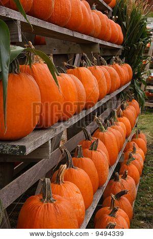 Harvest Time In Abundance With Rows Of Orange Pumpkins