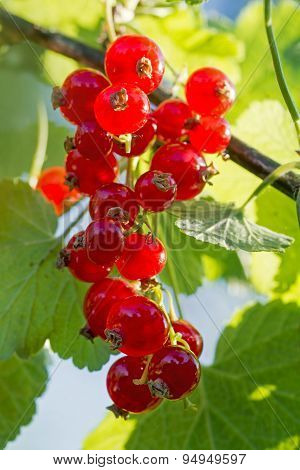 Grape Of Red Currants On The Bush In A Sunny Garden