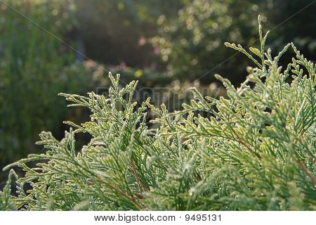 Background With Thuja Occidentals Branches