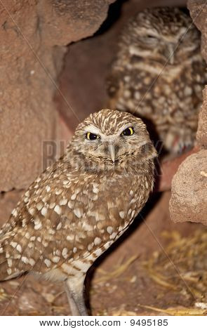 Burrowing Owls (Athene cunicularia) in Arizona