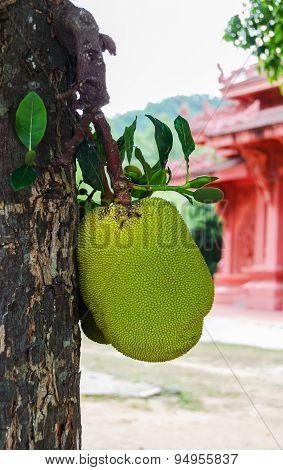 Jack Fruit On The Tree