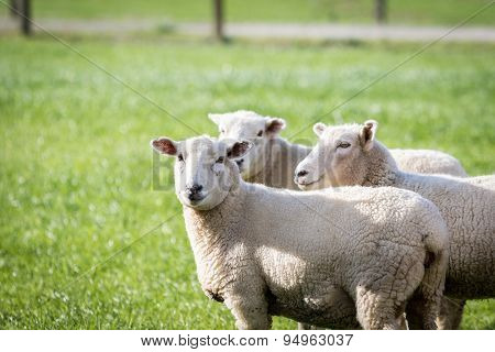 Sheep green grass