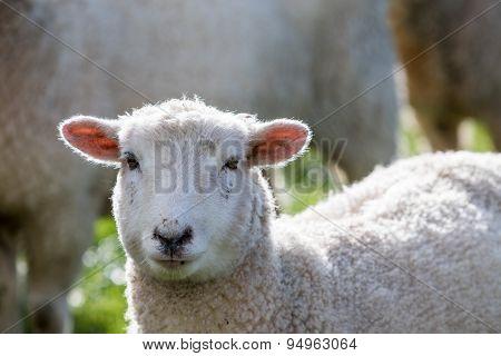Close up sheep