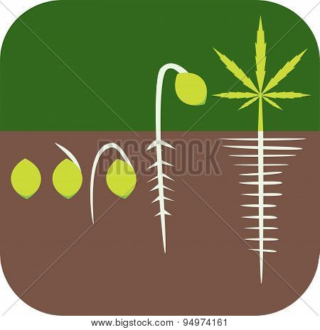 Marijuana growing concept.