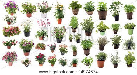 Aromatic Herbs And Flower Plants