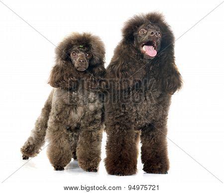 Brown Poodles