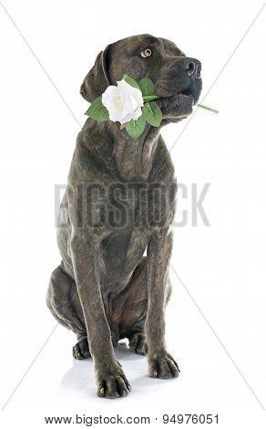 Italian Mastiff And Flower