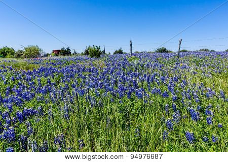 A Wide Angle View Of A Beautiful Field Blanketed With The Famous Texas Bluebonnets