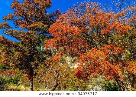 Bright Beautiful Fall Foliage On Stunning Maple Trees In Texas