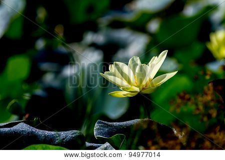 Blooming Yellow Lotus Flower.