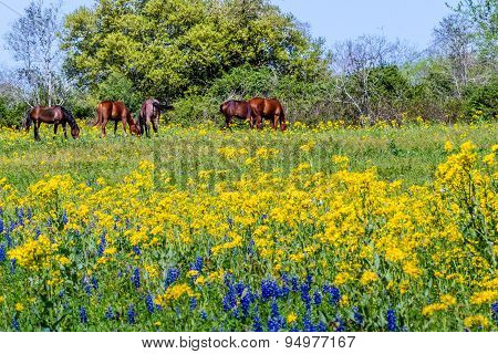 Texas Horses and Yellow Wildflowers in Field.