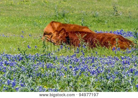 A Brown Cow In A Beautiful Field Blanketed With The Famous Texas Bluebonnet