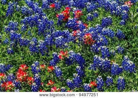 A Beautiful Field Blanketed With The Famous Texas Bluebonnet