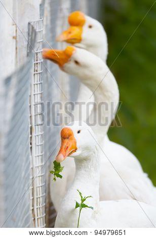 Goose - Vegan