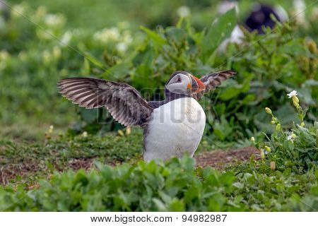 Atlantic puffin ready to fly