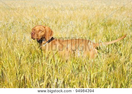 Hunting dog in the ripening grain. Hot summer day. Hungarian Pointer Viszla hunting. Electric dog co