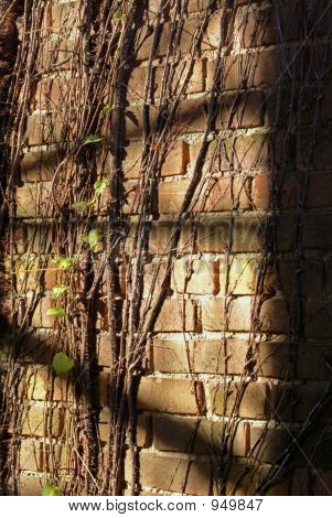 Sunlight Shadow And Vines