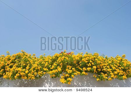 Yellow Lantana Flower Upon The Wall