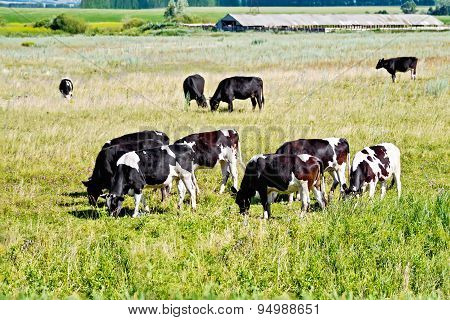 Cows black and white in meadow