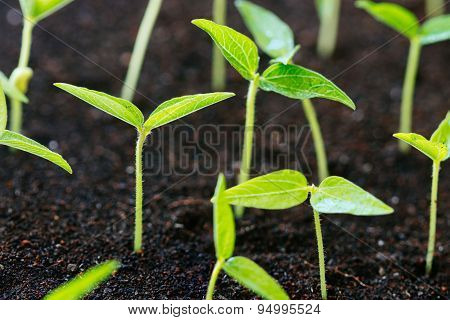 Close Up Agriculture Young Plant Growth On Soil