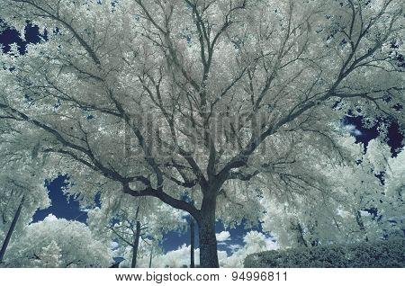 Oak Tree Branches - infrared