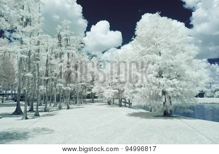 Infrared- Cypress Trees in the Park