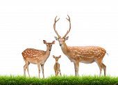 stock photo of deer family  - beautiful sika deer family with green grass isolated on white background - JPG