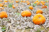 stock photo of thanksgiving  - Pumkin field with different types of pumpkin on autumn day - JPG