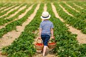 Little Kid Boy Picking Strawberries On Farm, Outdoors. poster