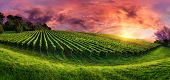 Vineyard Panorama At Magnificent Sunset poster