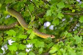 picture of jungle snake  - Snake in the tree - JPG