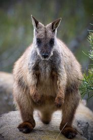 image of wallabies  - Bush wallaby full body shot in Armidale, NSW ** Note: Visible grain at 100%, best at smaller sizes - JPG