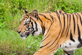 pic of zoo  - Closeup tiger in the zoo at Thailand - JPG