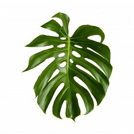 foto of photosynthesis  - large green shiny leaf of monstera plant isolated on white background - JPG