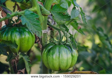 Fresh green tomatoes on the plant in the garden