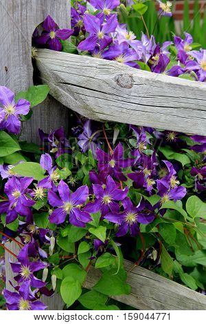 Beautiful image of purple clematis and greenery creeping up and over old, weathered fencing.