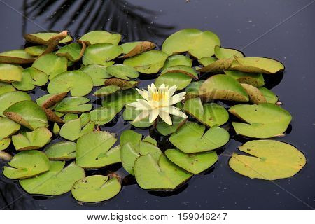 Stunning image of lily pads in still pond water, with single white  and yellow water lily.