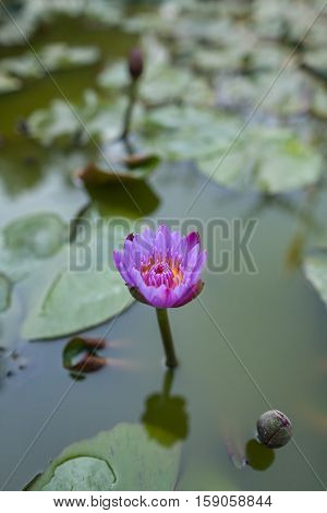 Water-lily star-shaped (Star lotus) -- a national flower of Sri Lanka. Buddhists claim that it is one of 108 propitious omens found in Buddha's traces.