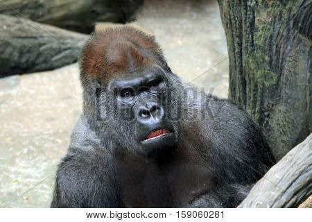 Silverback gorilla with an angry expression on his face