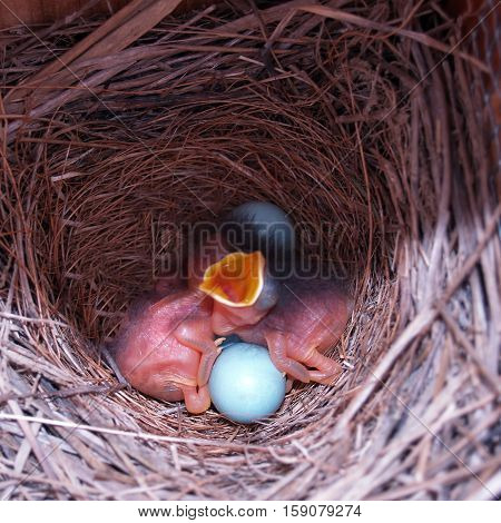 baby bluebirds that just hatched with two more eggs in the nest