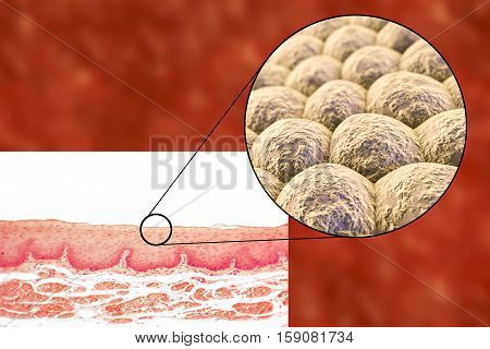 Layer of cells, light micrograph and 3D illustration. Non-keratinized stratified squamous epithelium
